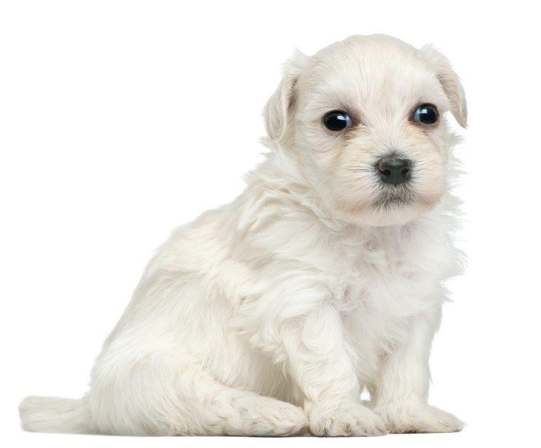 luksusowe rasy psów