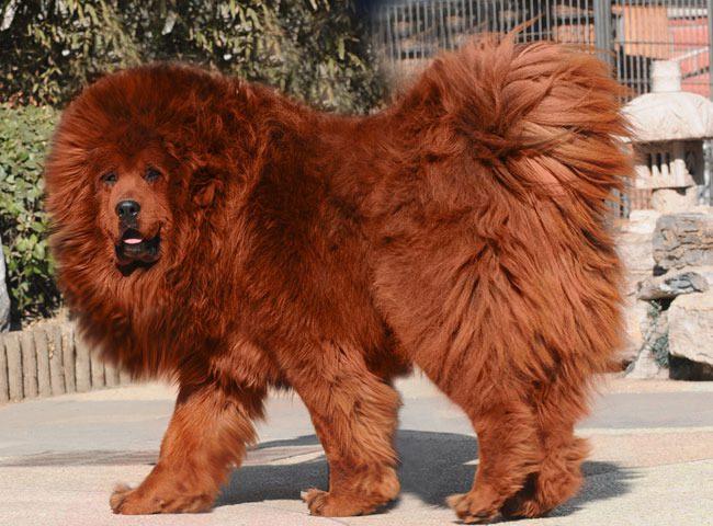 drogie i najdroższe psy świata