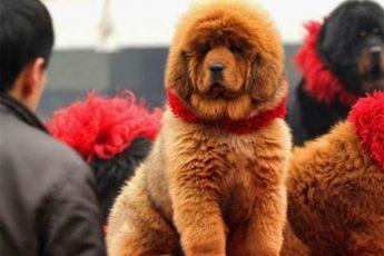 jak wygląda najdroższy pies świata?